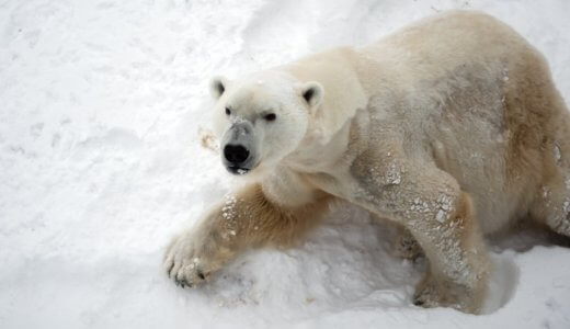 白クマの毛は白くない。白く見える理由とは